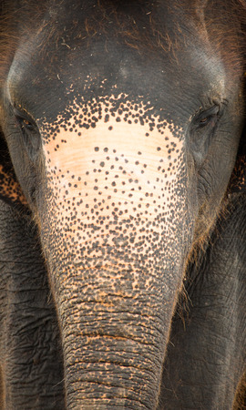head close up: An elephant head close up