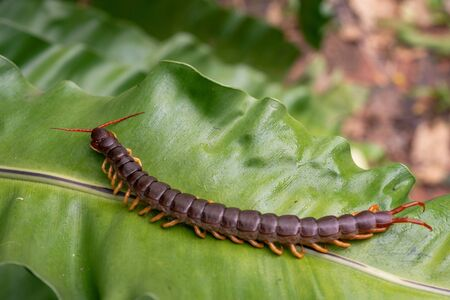 A centipede is on leaves. It is invertebrate. It is poisonous animals and have many legs.