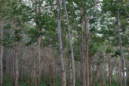 Tropical forest with many trees