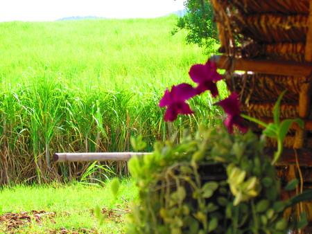sugar cane field noon (koojadoo) Stok Fotoğraf