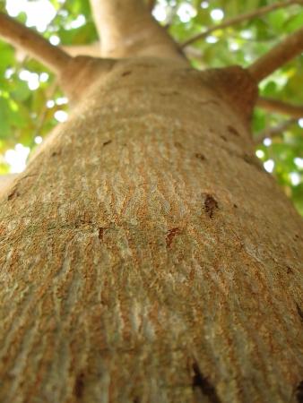 cashew tree: Cashew Nut Tree