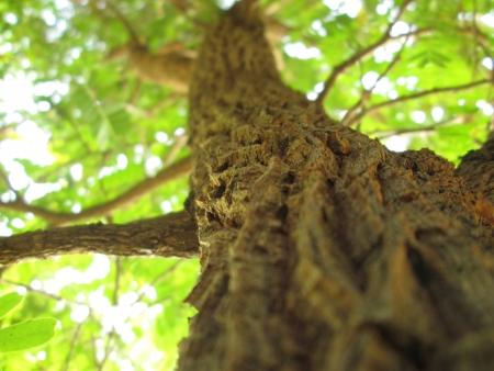 tamarindo: Tamarind Tree
