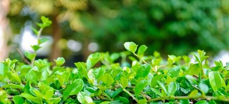 Natural shrub fence on Lens Flare photo