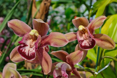 Cymbidium orchid in Thailand photo