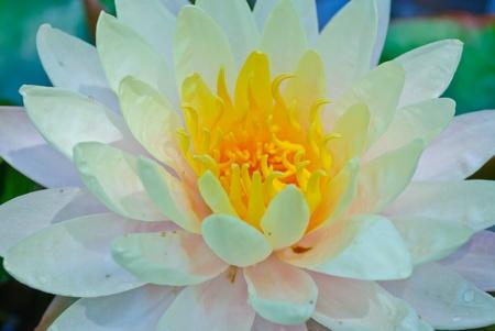 White blooming lotus in Thailand photo