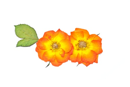 Press rose flower orange color and press green leaf photo