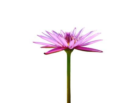 Blooming violet lotus flower on white backgroud photo