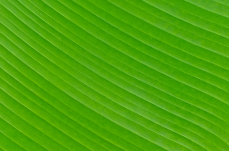 leaf close up: Banana leaf background texture green color