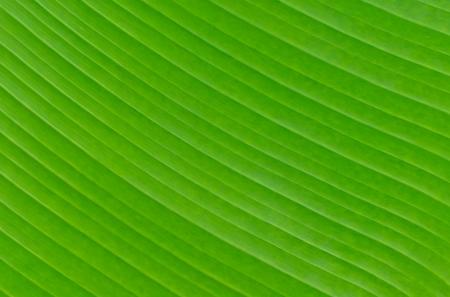 banana leaf: De fondo de la hoja del pl�tano textura de color verde Foto de archivo