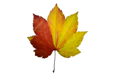 Press red and yellow leaf from maple tree photo