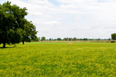 Landscape of rice field in Thailand photo
