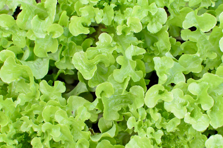 plot: Green Oaks on vegetable plot Stock Photo