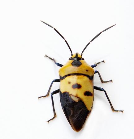 stink bug photo