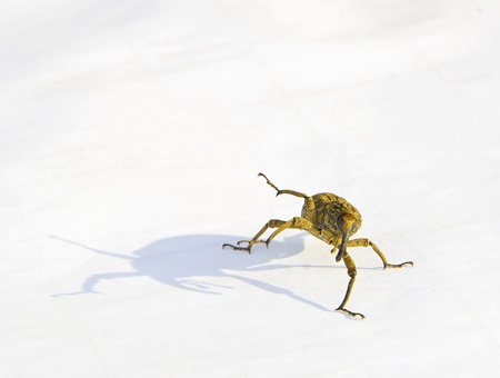 weevil: Weevil action  on white background