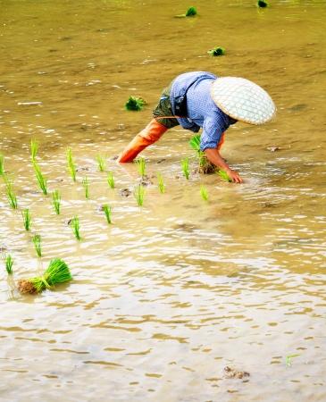 transplant: Transplant rice seedlings