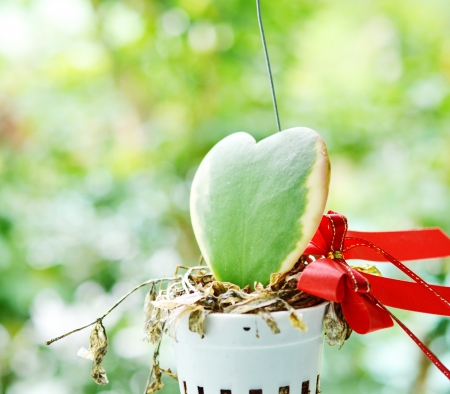 epiphytic: Dischidia plant gave in valentine day  Stock Photo