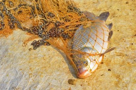 bony: Greater Bony Lipped Barb catch by net