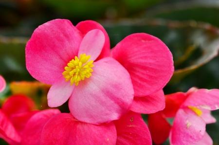 begonia: begonia fibrosa