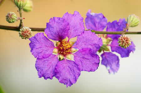pers: Queen flower (Lagerstroemia speciosa Pers) Stock Photo