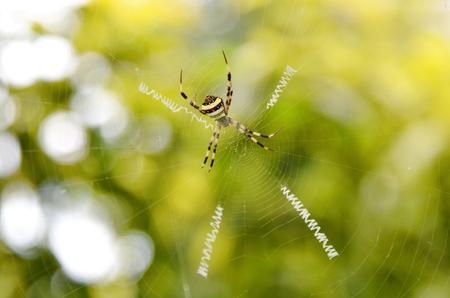 Spider, St Andrew's Cross, Thailand. 写真素材