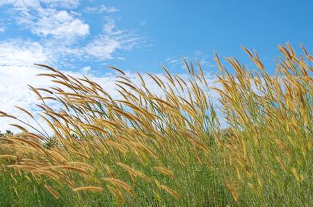 reed stem: Pennisetum polystachion background. Stock Photo