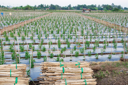 Bamboos for support chili in farm.