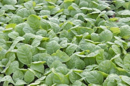 Tobacco plants cut leaf in nursery. 写真素材