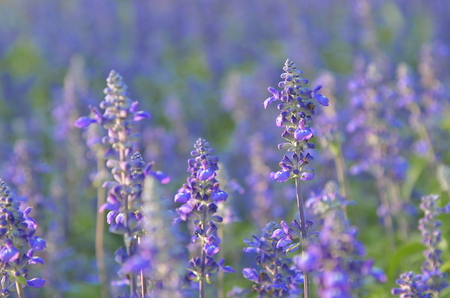Salvia sage flower. 写真素材