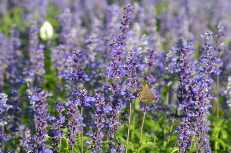 Butterfly in salvia garden. 写真素材