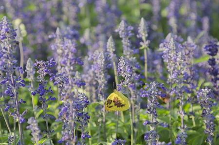 butterfly on salvia  flower garden.
