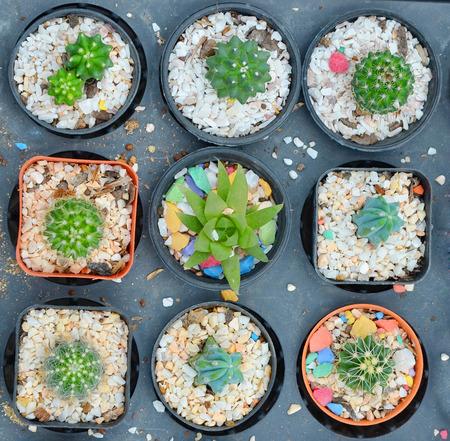 cactus flowers in pot.