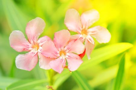 Three pink flowers. 写真素材