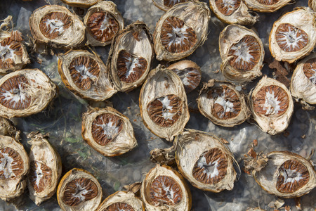 Dried Betel Nut or Areca Nut. photo