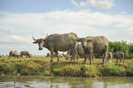 Many Sea Buffalos eating grass in Talay Noi is a river basin at the topmost of Songkla Lake. Phatthalung Province, Thailand. photo