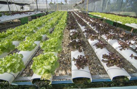 hydroponic: Organic hydroponic vegetable cultivation farm. Stock Photo
