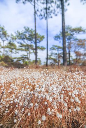 eriocaulaceae: Kradumngen Eriocaulon henryanum Flower in Phukradung National Park Thailand.