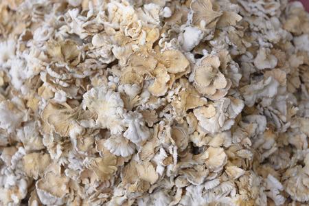 Schizophyllum commune mushroom