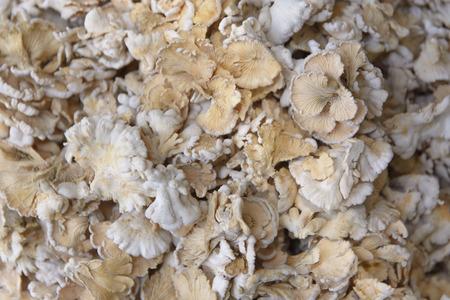 gilled: Schizophyllum commune mushroom