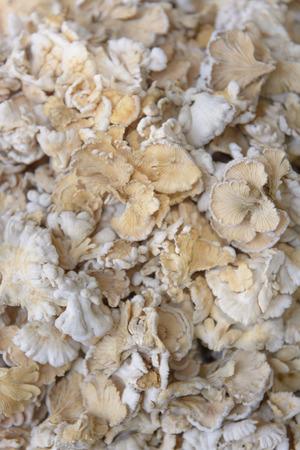 commune: Schizophyllum commune mushroom