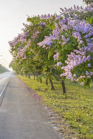 Lagerstroemia speciosa Pride of India Queens flower photo