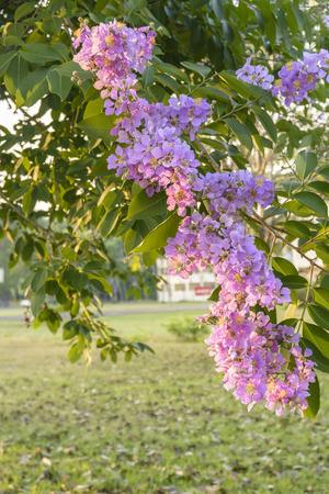 Lagerstroemia speciosa, Pride of India, Queens flower photo