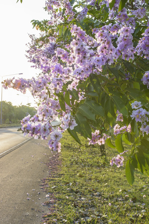 Lagerstroemia speciosa, Pride of India, Queens flower photo