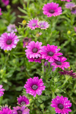 adds: Superb collage of a small clump of purple African daisy Osteospermum plants from the Asteraceae species adds cheerful color to the mid autumn landscape with white pink and purple flowers.