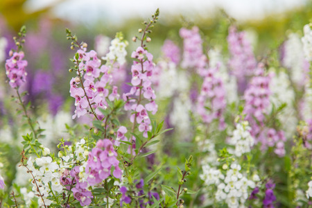 beautiful woodland: Summer flowerbed of beautiful blooming bright purple woodland sage flower (Salvia nemorosa) on blurred background, muted retro colors