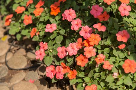 balsam: Impatiens walleriana, Busy Lizzie, Balsam, Impatiens, Garden Balsam, Zanzibar Balsam, Patience Plant, Patient Lucy