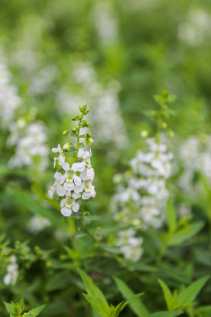 white salvia: White Salvia sage flower bloom in garden , soft focus Stock Photo