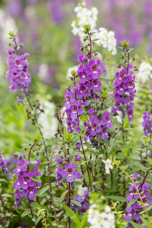 beautiful woodland: Summer flowerbed of beautiful blooming vivid purple woodland sage flower (Salvia nemorosa) on blurred background Stock Photo