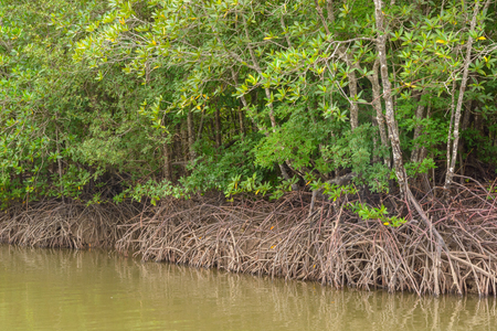 mire: Several of mangrove trees showing root in the forrest Stock Photo