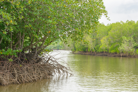 Mangrove forest, Beautiful blue sky and tropical mangrove forest at Krabi,Thailand. Intertidal forest. important for ecology coast and co-operation community. Background Stock Photo