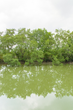 mangroves: Mangroves in Green water at low tide Stock Photo